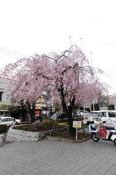 2017年の桜01.jpg
