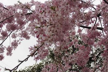 2017年の桜02.jpg